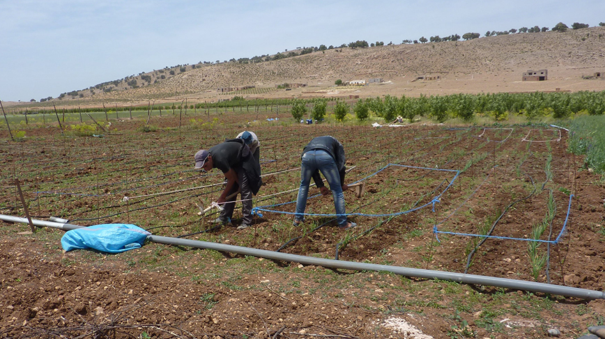 Preparing for planting in an irrigated field in Morocco, one of several countries that researchers