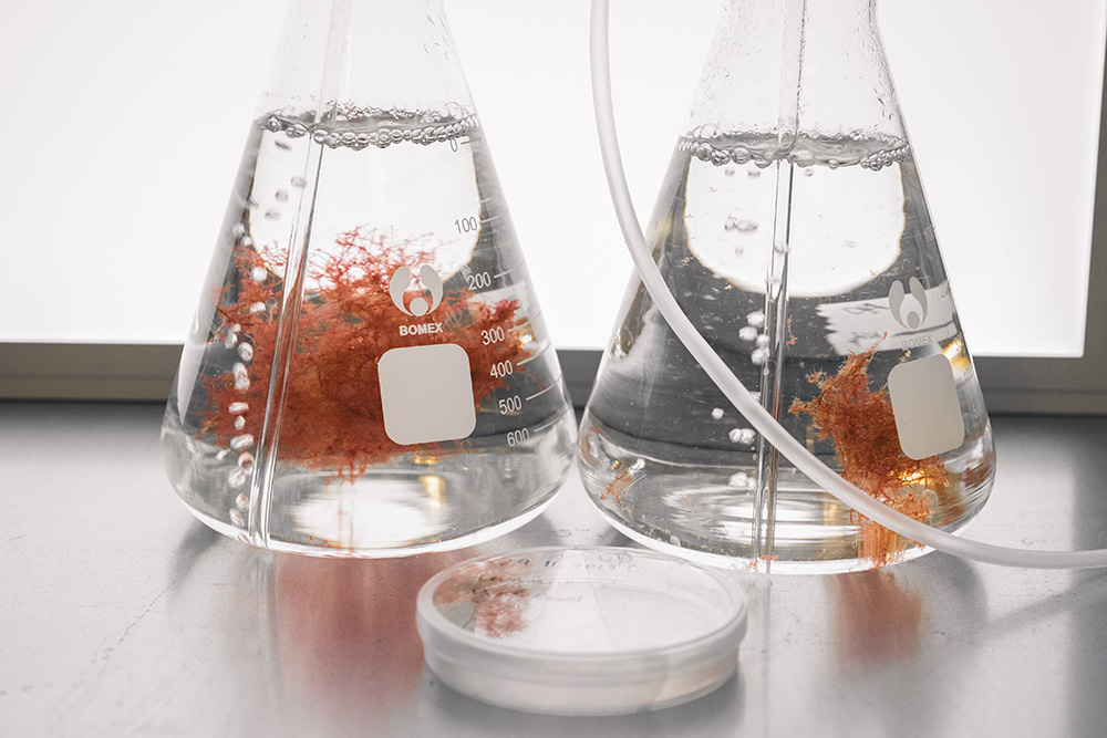 Two conical flasks and a petri dish containing a liquid where the red algae is suspended. In the foreground, a tube runs through the picture.